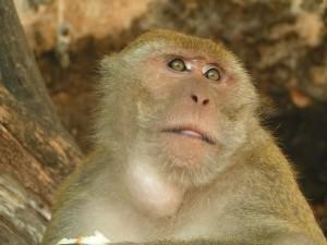 ניסוי הקופים